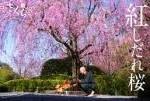 26年度第1回目主催事業 『太秦界隈:桜名所めぐり』を開催いたします。