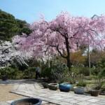 4月2日・さくら巡り、好天に恵まれ最高の花見でした。