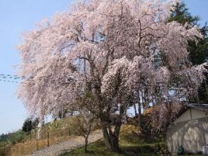 ✲ 右京のさくら名所めぐり 京北・西の鯖街道の桜をめでる